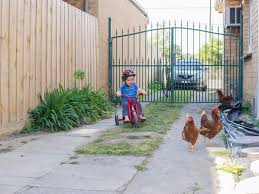 How To: Raise Chickens In Your Backyard Cheap Raising Ducks For Eggs Find Deals On The Chicken Chick 11 Tips For Predatorproofing Chickens 1064 Best Images Pinterest Chickens In The South Southern Living Keeping Ultimate Beginners Guide Australian Inrested Your Backyard Home Life How To Chickenproof Garden Modern Farmer Coop Yard Design 7 Coops 6760 Homestead Critters Landscape Gardening With 343 Other Farm Eggs