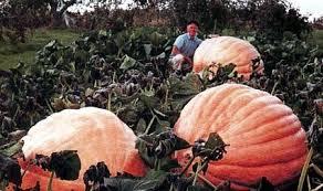 Atlantic Giant Pumpkin Taste by Pumpkin Dills Atlantic Giant Seeds Noveltystreet