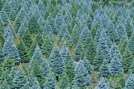 Christmas Tree Species Usa by Truth About Real Trees Bengtson U0027s U Cut Christmas Trees