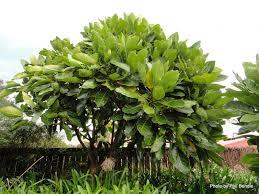 Christmas Tree Species Nz by Meryta Sinclairii Puka Evergreen Tree Native To New Zealand
