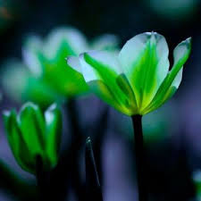 tulip flower bulbs not seed flower symbolizes green 3