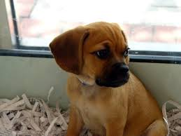 Do Pugs And Puggles Shed by Puggle Dogs 101 Facts And Information Dog Puggle U2013 Animal Facts