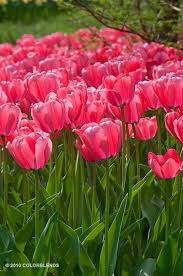 32 best tulips images on tulip bulbs for sale