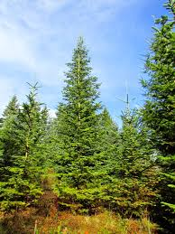 Noble Fir Artificial Christmas Tree by Corner Crest Natural Farm November 2014