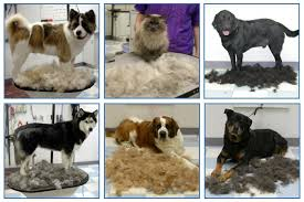 Do Short Haired Saint Bernards Shed by De Shed Treatments Friendly Paws Pet Supplies U0026 Grooming