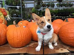 Seattle Pumpkin Patch by Dog Training U0026 Obedience Programs Seattle Wa Sit Means Sit