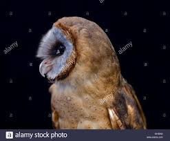 Side Profile View Of The Body And Head Of An Ashy Face Barn Owl ... Black Barn Owl Oc Eclipse By Pkhound On Deviantart Closeup Of A Stock Photo 513118776 Istock Birds Of The World Owls This Galapagos Barn Owl Lives With Its Mate A Shelf In The Started Black Paper Today Ref Paul Isolated On Night Stock Photo 296043887 Shutterstock Stu232 Flickr Bird 6961704 Moonlit Buttercups Moth Necklace Background Image 57132270 Sd Falconry Mod Eye Moody