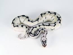 Ball Python Shedding Eating by 18 Best Reptiles Images On Pinterest Beautiful Snakes Ball