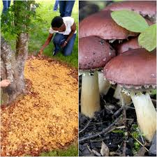 Making A Wood Chip Mushroom Garden - Milkwood: Permaculture ... I Think Found Magic Mushrooms In My Backyard Wot Do Eliminate Mushrooms In Your Lawn Gardening Know How Whisper Challenge Theres A Purple Mushroom My Backyard Dogs Home Decorating Interior Design Bath Found Richmond Virginia Any Idea What It Is Psychedelic Among Grass Seattle Mycology To Grow Massive Oyster Straw Garden Part 1 Grgiabeforepeople Fescue Should Be Concerned About Lawn The Enchanted Tree Foraging