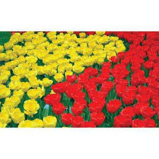 tulip flower bulbs garden plants flowers the home