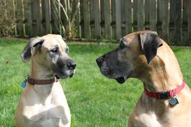 Black Mouth Cur Shed Hunting by Great Dane Puppy Voices His Displeasure At Being Forced To Get Up
