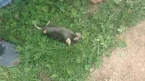 We Found A Mole In My Grandma's Backyard - YouTube How To Get Rid Of Moles Organic Gardening Blog Cat Captures Mole In My Neighbors Backyard Youtube Animal Wikipedia Identify And In The Garden Or Yard Daily Home Renovation Tips Vs The Part 1 Damaging Our Lawn When Are Most Active Dec 2017 Uerstanding Their Behavior Mole Gassing Pests Get Correct Remedy Liftyles Sonic Molechaser Alinum Covers 11250 Sq Ft Model 7900