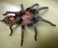 Remains Of The Day Spiders by Spiders At Spiderzrule The Best Site In The World About Spiders