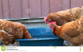 Chicken Hens Drinking Water In Blue Bucket Stock Video - Video ... Alexander County Nc Poultry Farm And Historic House Barn Doors Eyeem Stepping Into Steryear At The Blue Earth Fairgrounds Best Meal Of 2016 Hill Stone Barns Eat Sleep Motlow George Dickel Manchester Bonnaroo Coffee Under Contract Big Cabin 100 Acres Oklahoma Land Elkuntryhescom Online 22000 Chickens Killed In Ashland Fire Fox8com 6 Broiler The Elrod Group 79 Best Pet Oh Boy Images On Pinterest Boys Chicken Commercial Buildings King City Lumber Mound