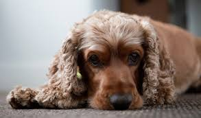 Best House Dogs That Dont Shed by Cocker Spaniel Dog Breed Information