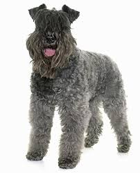 What Dogs Dont Shed Or Bark by 35 Dog Breeds That Don U0027t Shed Small Medium U0026 Large Breeds