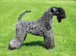 kerry blue terrier dog breed information pictures