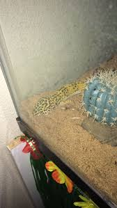 Crested Gecko Shedding Behavior by How To Care For A Leopard Gecko With Pictures Wikihow