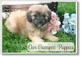 Cavapoos Do They Shed by Cavapoo Puppies