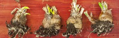 plant bulbs now garden weasel