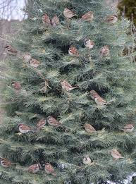 Christmas Tree Species by Ever Wonder How Long A Cut Christmas Tree Lasts Garden Walk