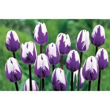 purple flower bulbs garden plants flowers the