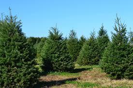 Frasier Christmas Tree Cutting by Lisa Edson Of Santa U0027s Christmas Tree Farm On Family Trees And