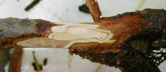 Christmas Tree Saplings Ireland by Phytophthora Root Rot Of Christmas Trees U2013 Wisconsin Horticulture