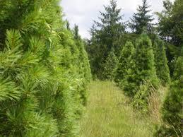 Fraser Fir Christmas Trees Nc by Christmas Trees U2013 Pinetop Farm Christmas Trees And Blueberries