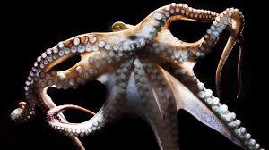 octopus NPR