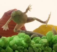 Do Aquatic Dwarf Frogs Shed Their Skin by African Dwarf Frogs Get To Know Your African Dwarf Frog 2012