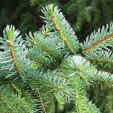 Festive Seeds From Only 85p Christmas Tree
