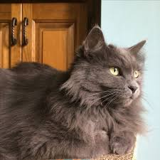 haired cat 68 best nebelung cats images on nebelung cat breeds