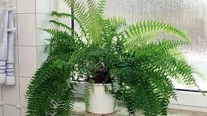 farn als zimmerpflanze tipps zur pflege zimmerfarnen