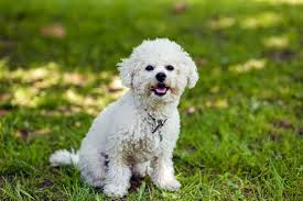 Shed Free Lap Dogs by Is A Bichon Frise The Right Dog For You Pets4homes