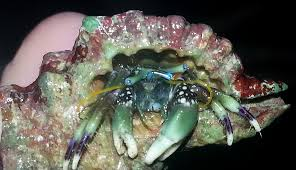 Do Hermit Crabs Shed Their Legs by What U0027s In Jeremy U0027s Bucket Crustaceans