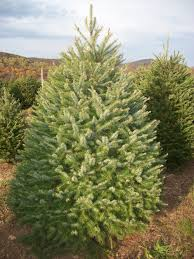 Silver Tip Christmas Tree Oregon by Cornell Farm Christmas Trees U2014 Cornell Farm