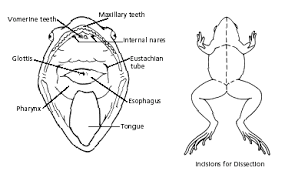 frog dissection tutorial and worksheet diagrams to help