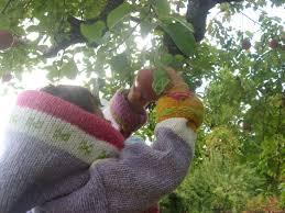 Pumpkin Picking Farm Long Island Ny by Apple Picking Tips U0026 List Of Apple Picking Farms On Long Island