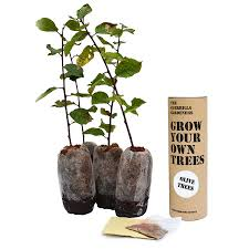 Christmas Tree Saplings Ireland by Grow Your Own Olive Tree Kits By The Seed Bomb Factory