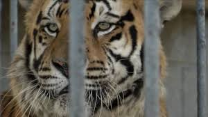 100 Tiger Truck Stop Louisiana Owner Of Euthanized Truckstop Tiger Will Fight To Acquire Another
