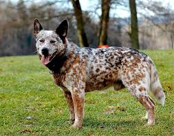 Short Haired Dogs That Shed The Most by Healthiest Dog Breeds 30 Dogs With The Least Health Problems
