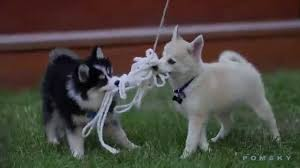 Do Pomskies Shed Fur by Blue Eye Pomskie Puppy Playing