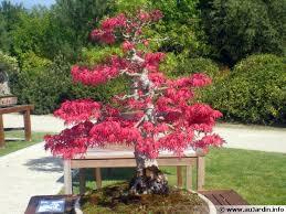 pot bonsai grande taille le bonsaï l de la taille