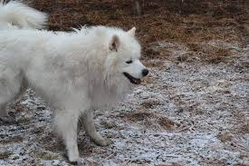 Do Samoyeds Shed All The Time by Such Floof Aww