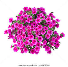 Petunia Flowers Isolated With Clipping Path Included VOL 3 458409346