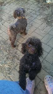 Do Pocket Puggles Shed by Best 25 Schnoodle Rescue Ideas On Pinterest Puppy Quotes Sweet