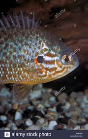 Pumpkin Seed Sunfish Pictures by Lepomis Gibbosus Pumpkin Seed Sunfish Pumpkinseed Centrarchidae