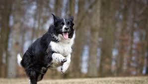 do blue heeler border collies shed border collie breed information facts and faq s 2018 edition