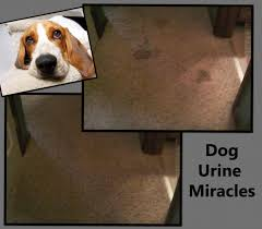 Dog Urine Stains On Hardwood Floors Removal by Pet Urine Odor U0026 Stain Removal In South Bend U0026 Elkhart